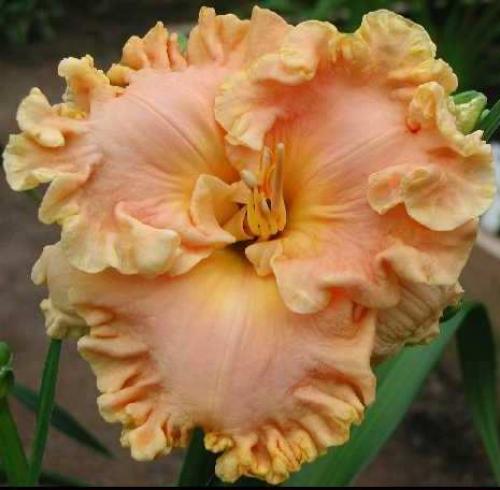 Персиковый цветок лилейника