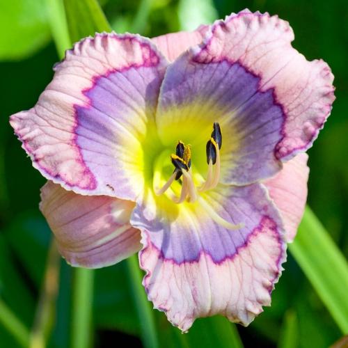Градиентный розово-фиолетовый лилейник